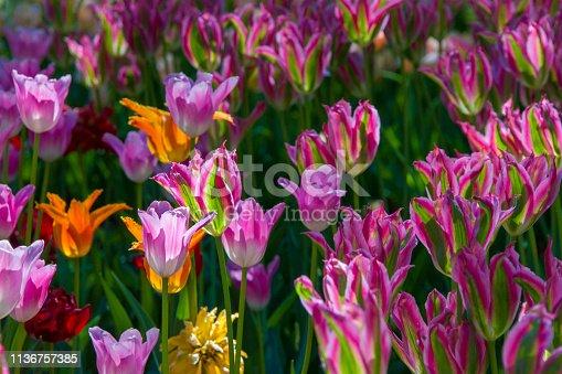 istock Many bright multi-colored tulips 1136757385