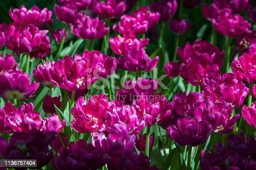 istock Many bright multi-colored tulips 1136757404