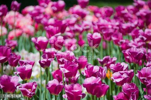 istock Many bright multi-colored tulips 1136757409