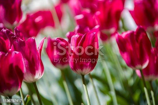 istock Many bright multi-colored tulips 1136757417