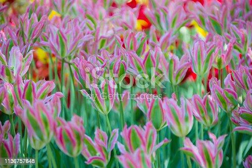 istock Many bright multi-colored tulips 1136757648