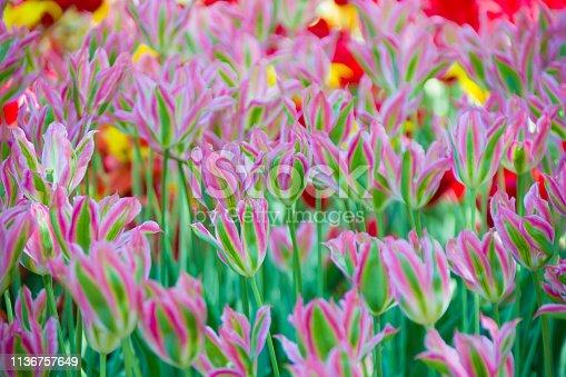 istock Many bright multi-colored tulips 1136757649
