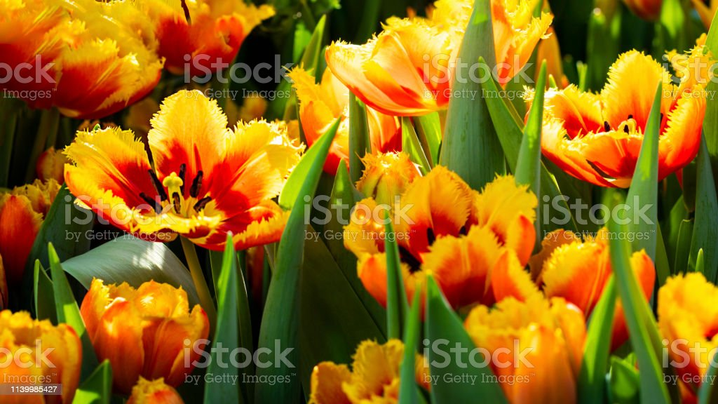 Many bright orange red tulip flower gusto cultivar with flowers and green leaf background in tulip field at spring day for postcard beauty decoration or agriculture concept design. Horizontal Banner