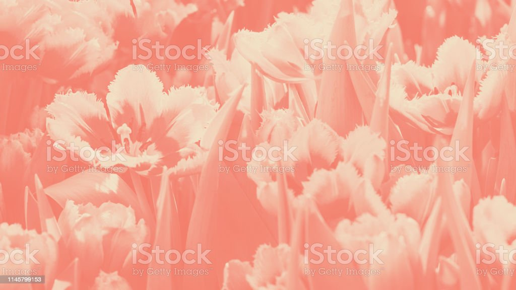 Many bright orange red tulip flower gusto cultivar with flowers and green leaf background in tulip field at spring day for postcard beauty decoration or agriculture concept design. Horizontal duotone