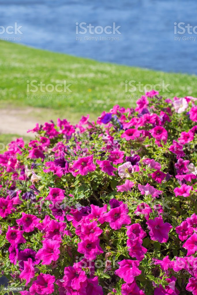 Many bright pink flowers of the surfium stock photo