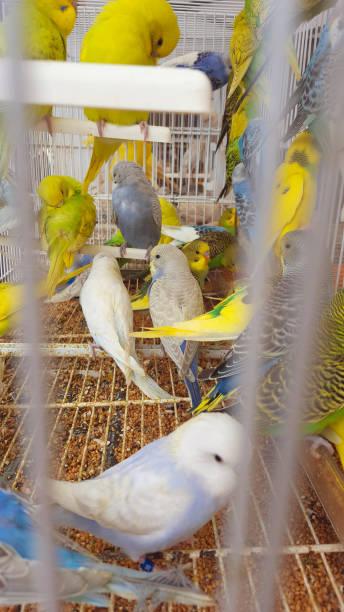 plusieurs perruches en cage sur un marché en espagne - animaux familiers exotiques photos et images de collection