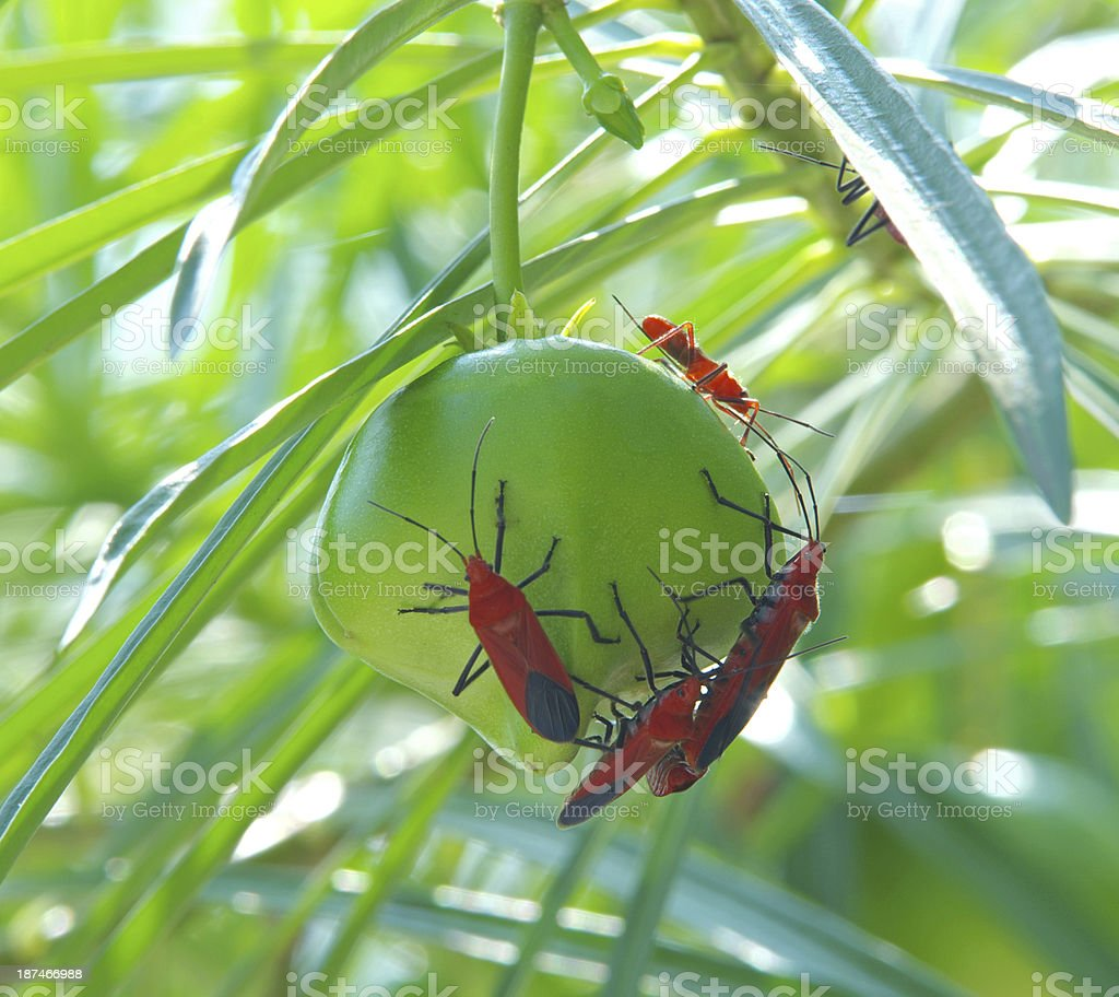 Many Bug Bite At Yellow Oleander Flower Stock Photo More Pictures