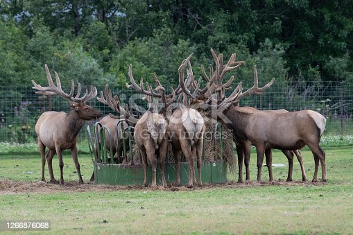 Large number of Bull Elk eating at feeder