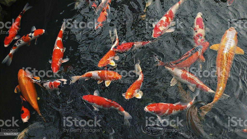 many carp fishes stock photo