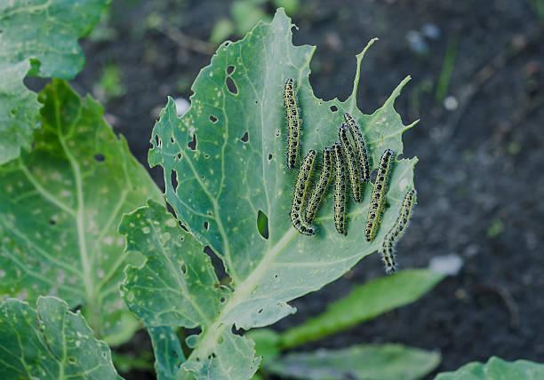 Many caterpillars eat cabbage stock photo