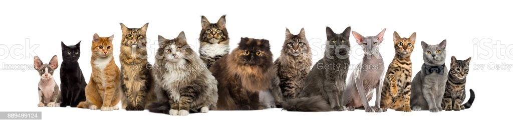 Many Cats sitting in a row, isolated on white stock photo