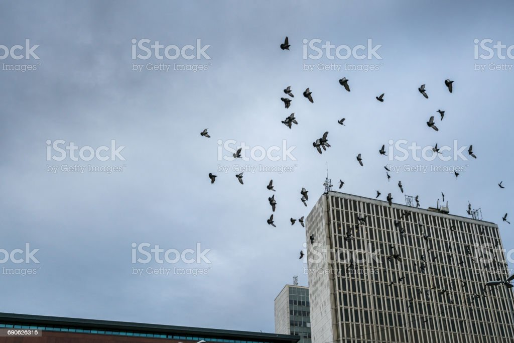 Many city pigeons flying across a dark sky with office buildings below. stock photo