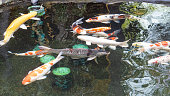 Many colorful koi fish that people raise.