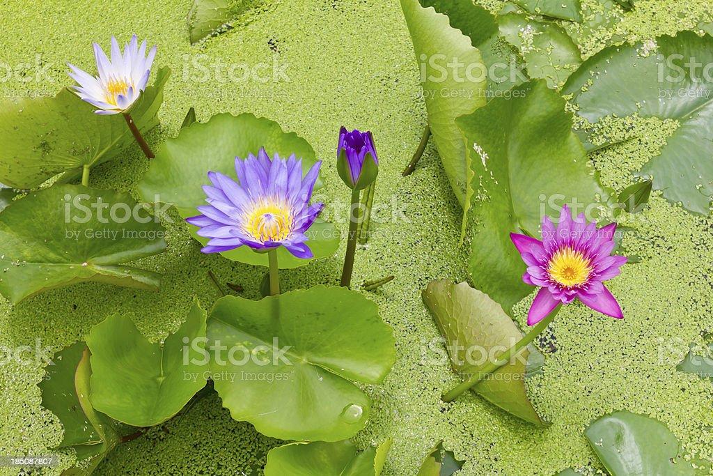 Many colorful lotus royalty-free stock photo