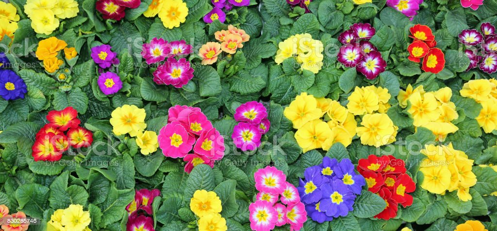 many colorful primroses in early spring stock photo