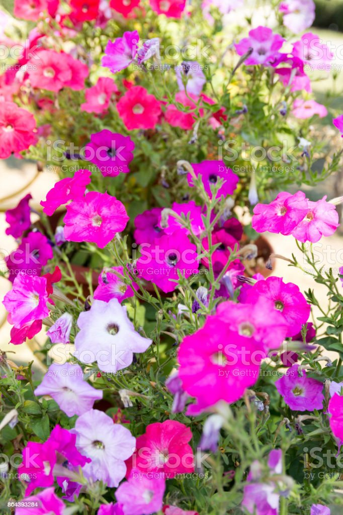 Many Colors Of Petunia Flower Bed Stock Photo Download Image Now Istock