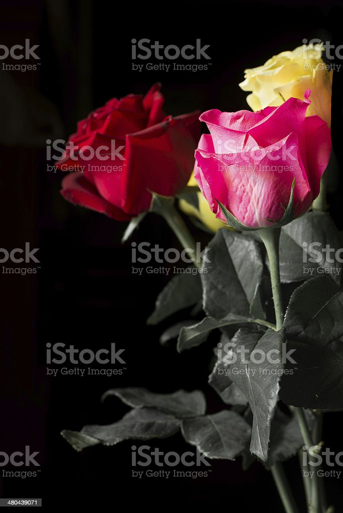 Many colors of roses in black background royalty-free stock photo
