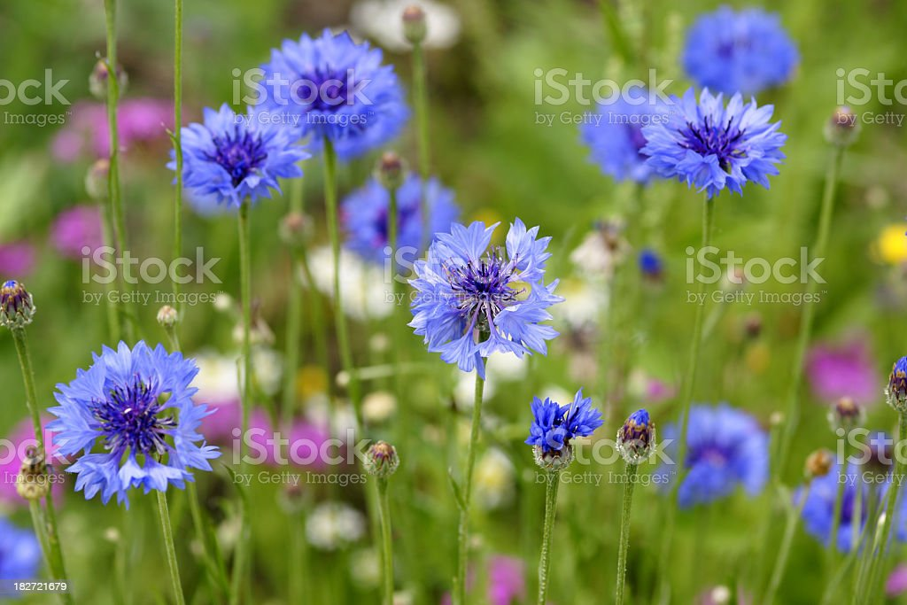 Many cornflowers are nice during the summer stock photo