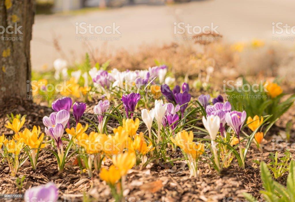 viele Krokusse im Frühling - Blüte Blumenbeet – Foto