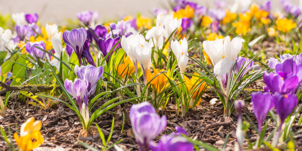 Many crocuses in spring flowering flowerbed picture id908572248?b=1&k=6&m=908572248&s=612x612&w=0&h=wepcyybzzx7dprsxwzn3evn9lzxnsq dsrnl3zq7zts=