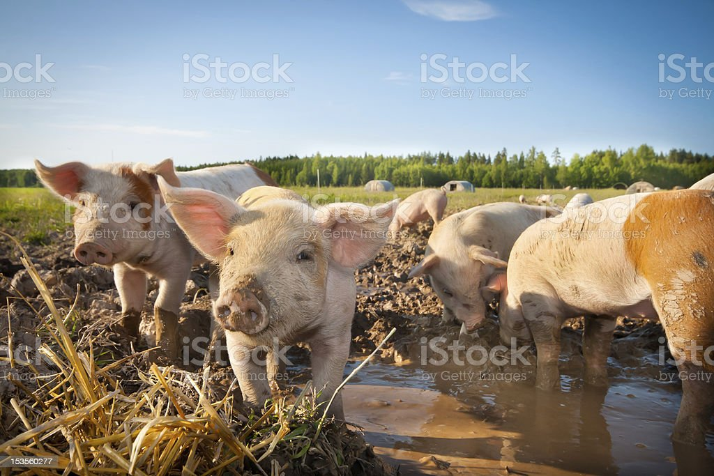 Many cute pigs on a pigfarm stock photo