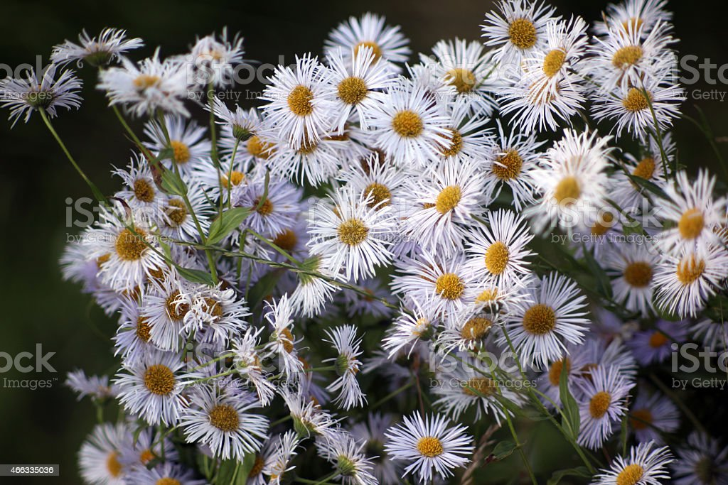 Many daisies in top view stock photo