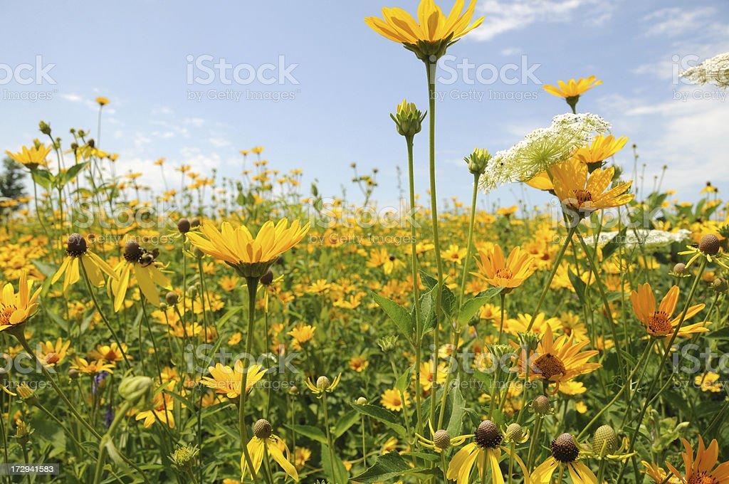 Many Daisies. royalty-free stock photo