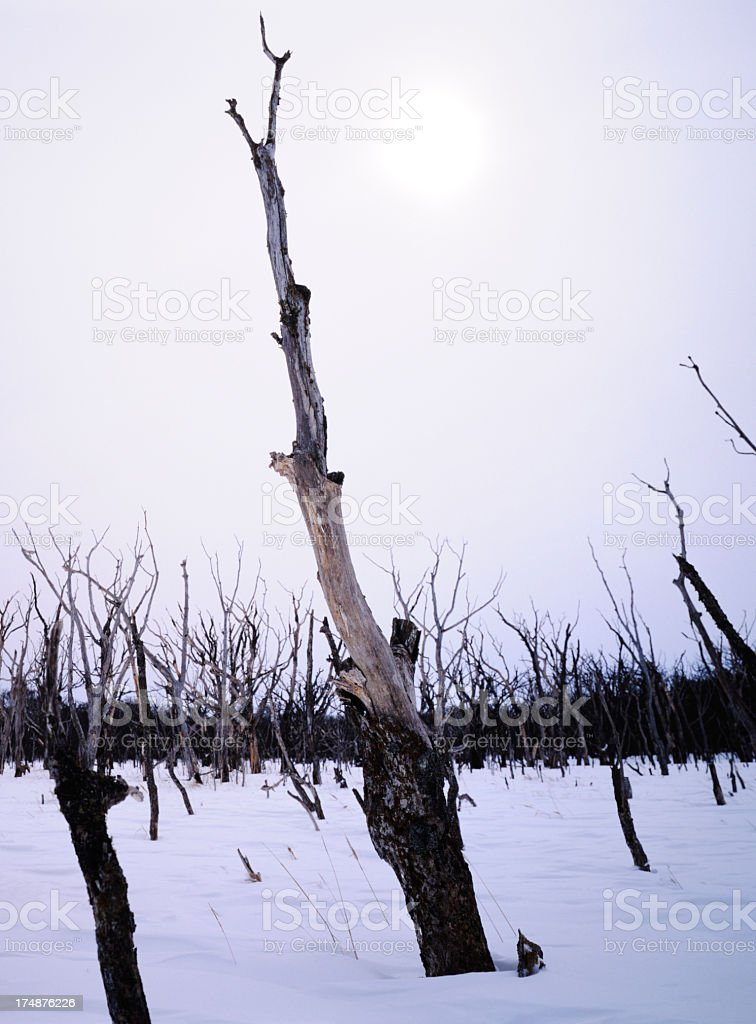 Many dead trees against dark sky stock photo