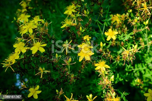 istock Many delicate yellow flowers of Hypericum perforatum plant, commonly known as perforate or common St John's wort, in a garden in a sunny spring day 1289161267