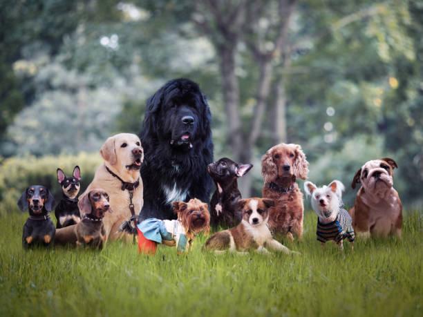viele verschiedene rassen von hunden auf dem rasen - chinesische schopfhunde stock-fotos und bilder