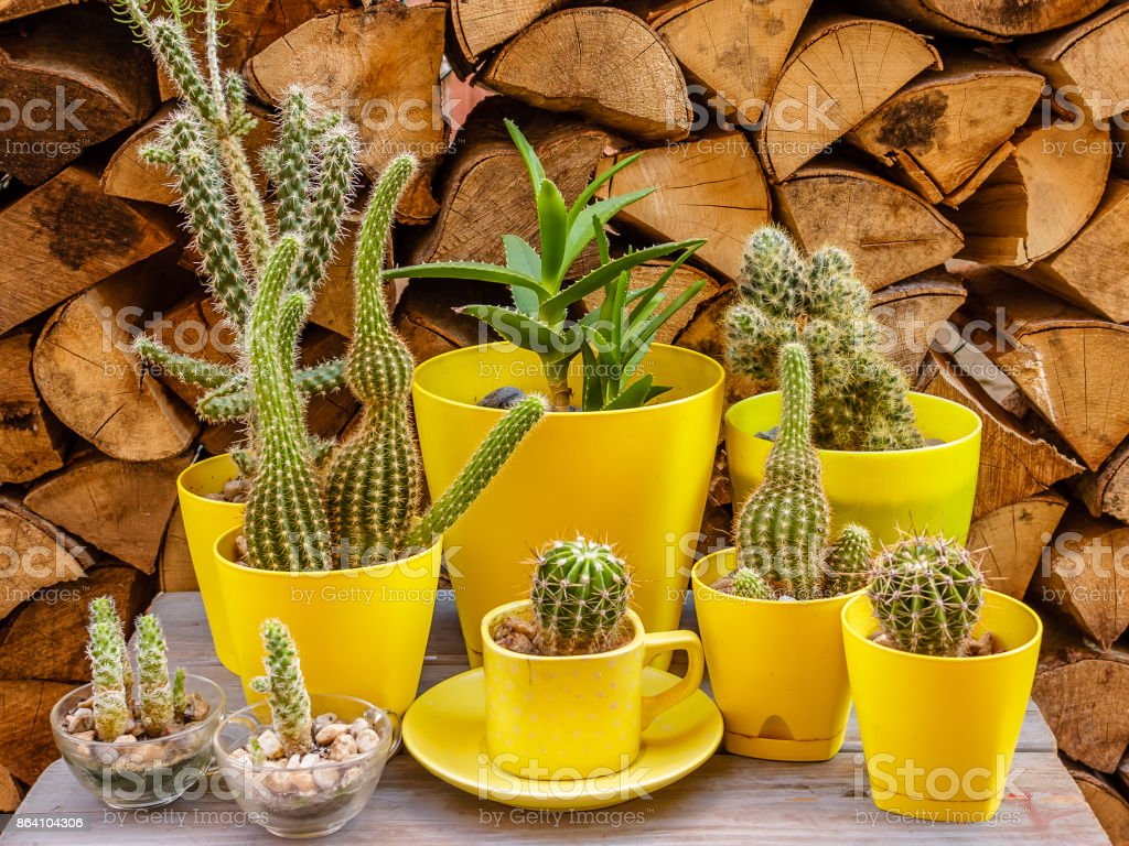 Many different cactuses in yellow flower pots on a wooden background royalty-free stock photo