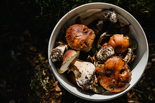 Many different edible mushrooms: white, moss, parasol in a bucket in  a pine woods. Group of beautiful mushrooms in the moss. Boletus edulis. Edible mushroom  with copy space.
