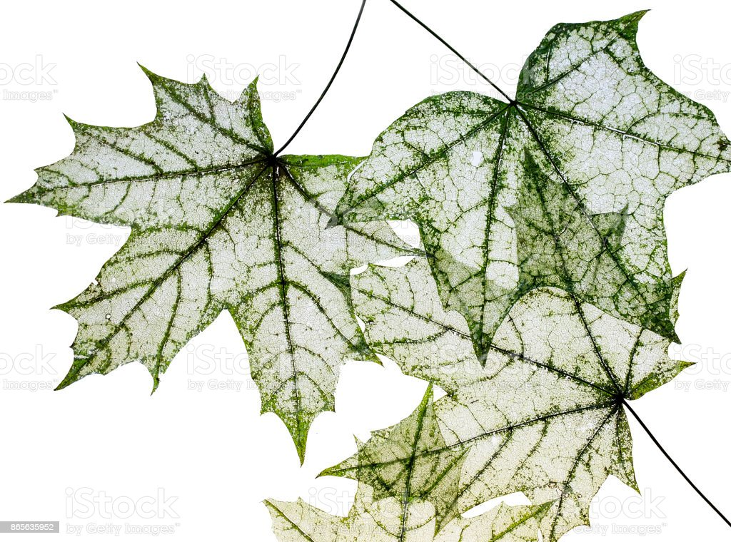 many dilapidated openwork maple leaf delicate transparent template shapes on a white isolated background stock photo