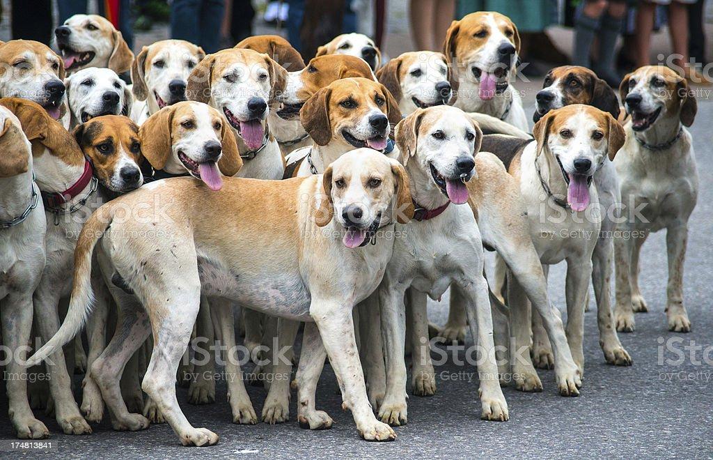 many dogs ready for hunting - Jagdhunde royalty-free stock photo