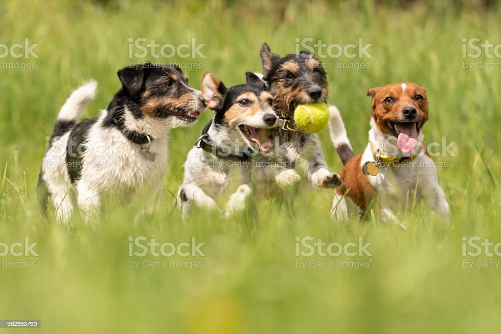 Viele Hunde laufen und spielen mit einem Ball auf einer Wiese - eine Packung von Jack Russell Terrier – Foto
