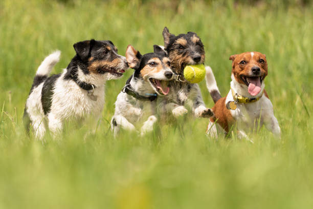 Many dogs run and play with a ball in a meadow - a pack of Jack Russell Terriers stock photo
