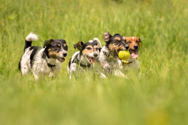 Many dogs run and play with a ball in a meadow a pack of jack russell picture id962993820?b=1&k=6&m=962993820&s=612x612&w=0&h=fhfiktafzc2uxdltos4igyh8aenw 3gzjniuky0 rri=