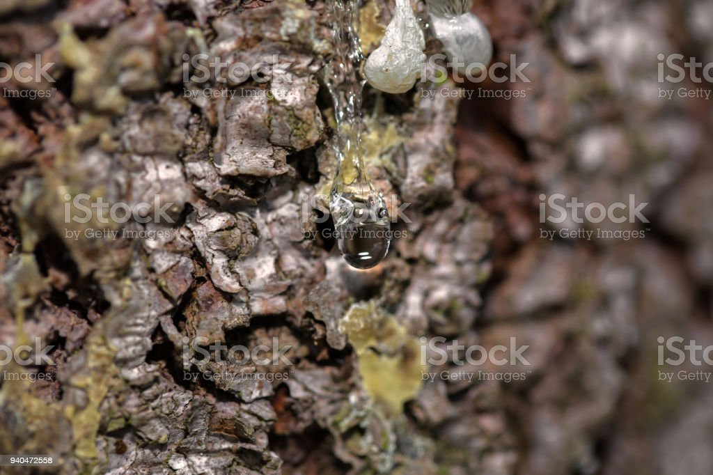Many drops of resin on a tree trunk stock photo