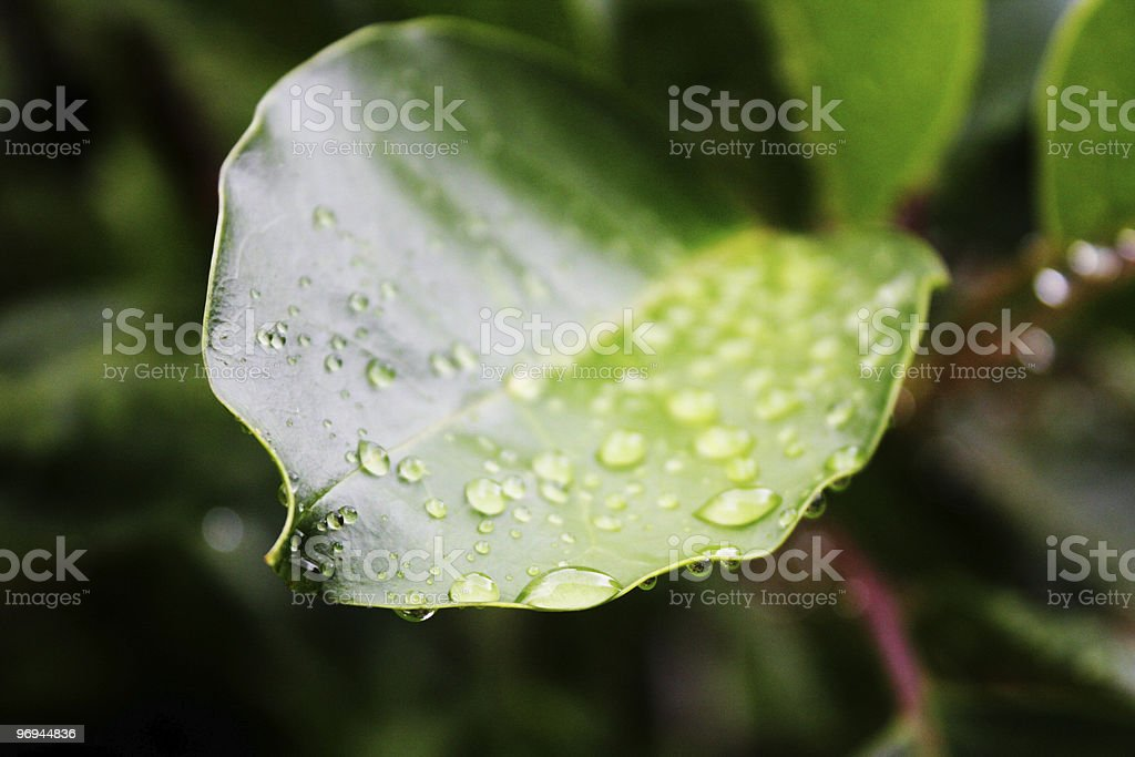 Many drops of water on leaf royalty-free stock photo
