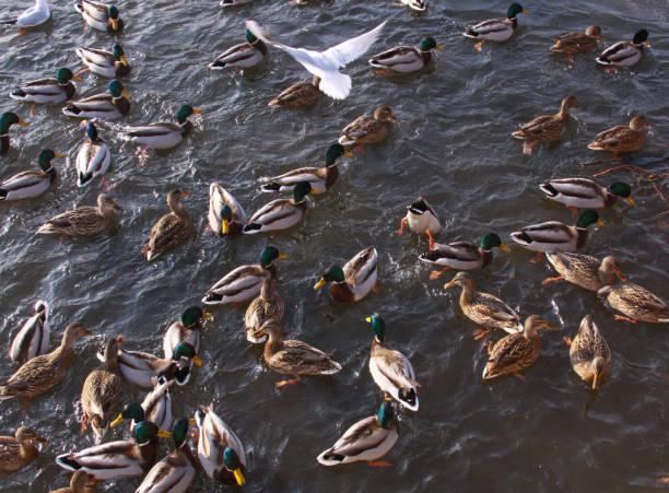 Many ducks and gulls on lake - avian frenzy stock photo