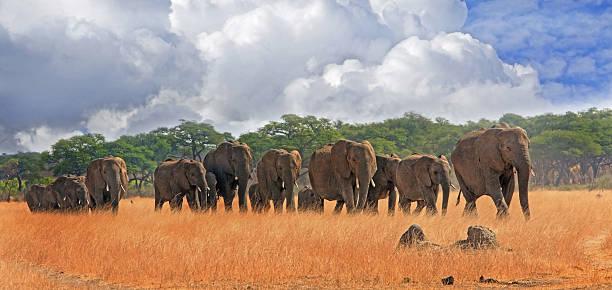 Many elephants walking across the plains in Hwange National Park – Foto