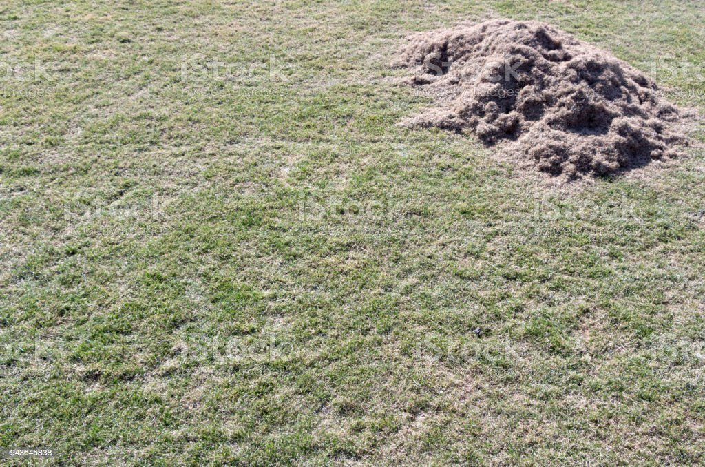 Many felts on green grass after aeration of the lawn stock photo