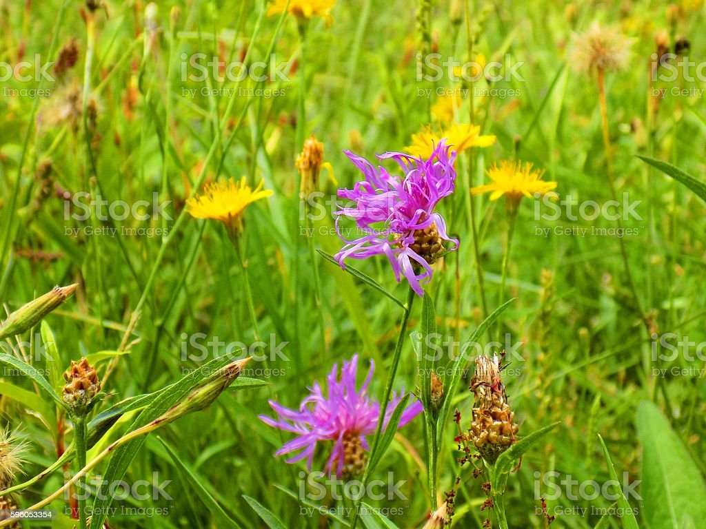Many flowers on meadow in wild nature during spring royalty-free stock photo
