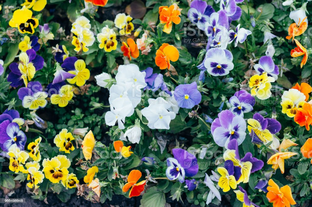 Many Flowers Pansies Flowerbeds Yellow And Purple Pansy Flowers In