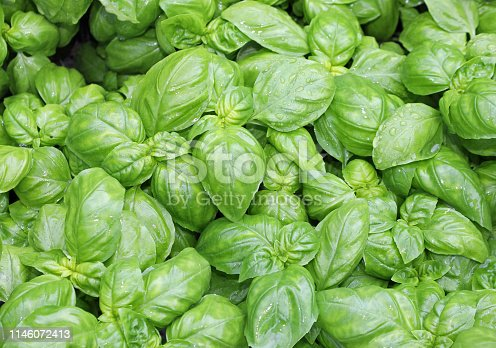 istock many fresh leaves of basil a typical  culinary herbal of Mediter 1146072413