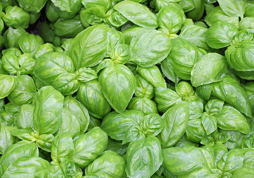 many fresh leaves of basil a typical  culinary aromatic herbal of Mediterranean Region