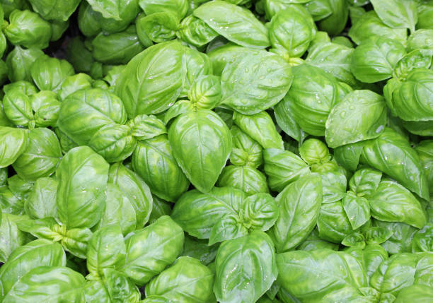 many fresh leaves of basil a typical  culinary herbal of Mediter many fresh leaves of basil a typical  culinary aromatic herbal of Mediterranean Region basil stock pictures, royalty-free photos & images