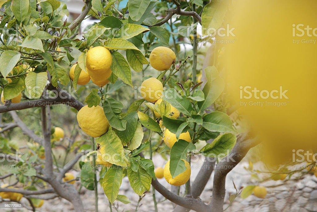 many fresh yellow lemons royalty-free stock photo