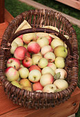 Many freshly harvested apples in a wicker basket