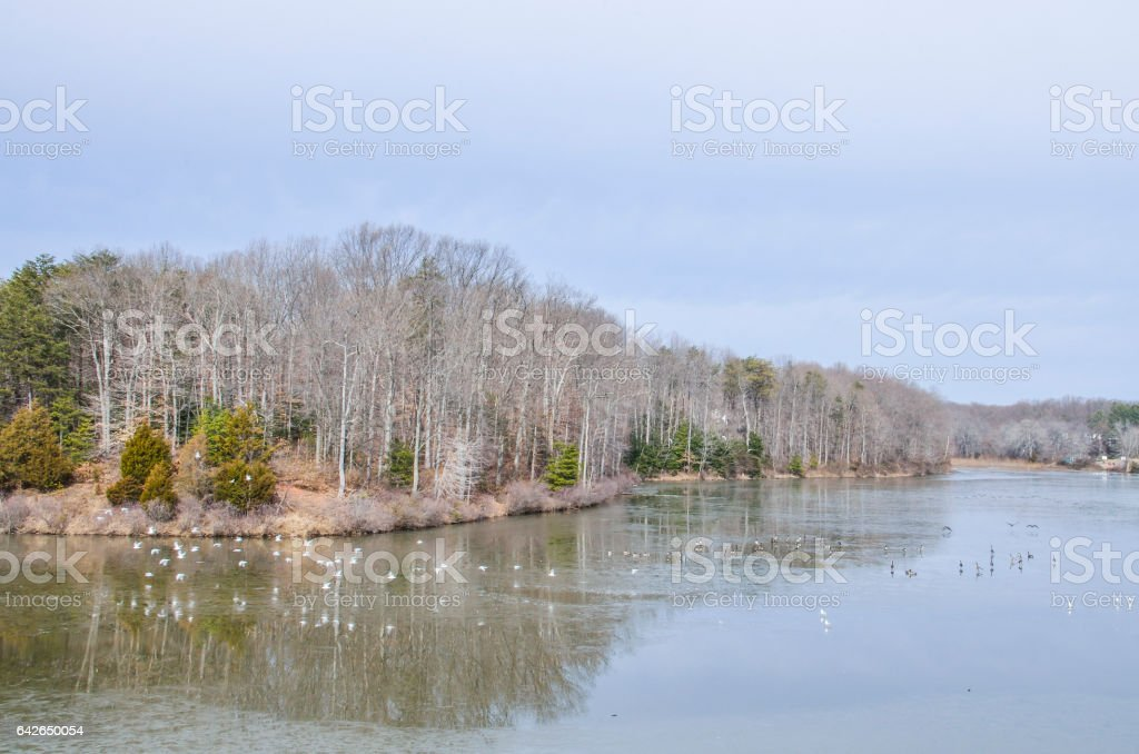 Many geese and seagulls flying and swimming in lake stock photo